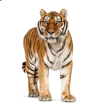 Tiger standing up in front of a white background