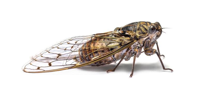 Grey Cicada, isolated on white