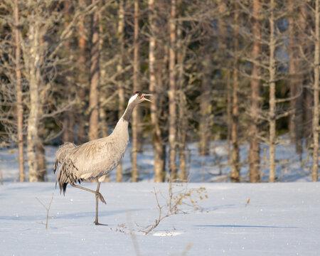 Common crane (Grus grus), also known as the Eurasian crane walking on a snowy bog