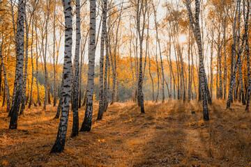 Papiers peints Bosquet de bouleaux Autumn landscape birch grove in the light of the sun