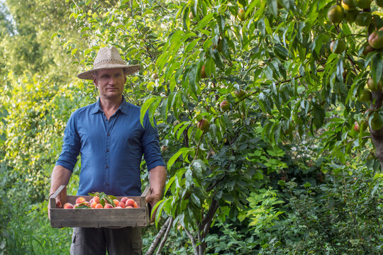 Adult man harvesting peaches in summer