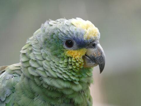 Die Venezuela-Amazone (Amazona amazonica) ist die häufigste Art aus der Gattung Amazona. Sie kommt im nördlichen und zentralen Südamerika vor, hier Ecuador.