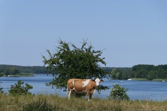 Cow by the lake. A brown and white cow stands alone in a pasture in front of a large bush. In the background there is a lake. You can't get a more touristy representation for a vacation at the lake.