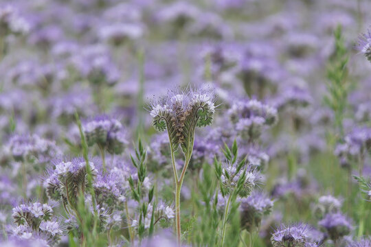 Plants in the field for the bees. Lavender flowers in the field. All of the plants visited by bees.