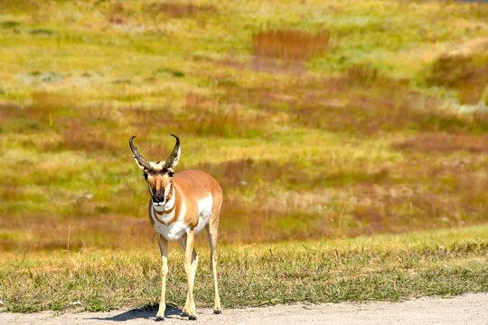 Pronghorn or Antelope at Custer State Park, South Dakota