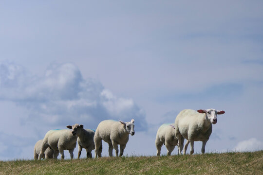 Sheep in a meadow. A small flock of sheep runs along the dike.