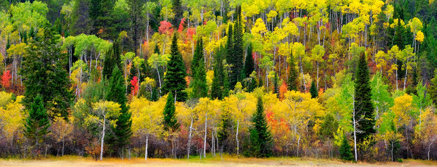 Forest Forrest Aspen Birch Pine Wild Wilderness Mountains