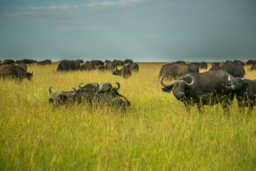 A herd of african cape buffalo in the green grass of the Maasai Mara savannah, Kenya, Africa.