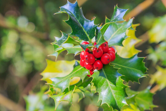 Holly, Christmas plant, with red balls and leaves with unfocused background. Christmas baking concept