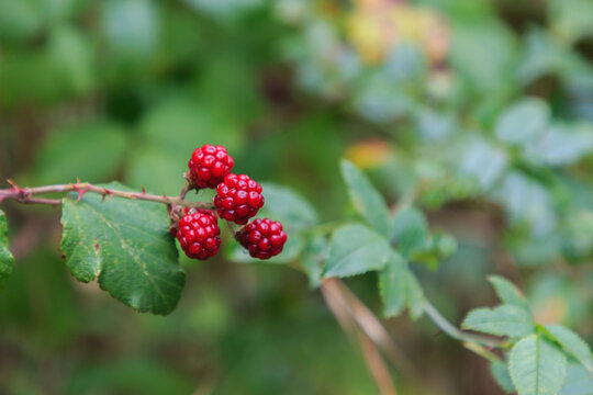 Wild red berries on the plant hanging with blur background. Wild fruits concept