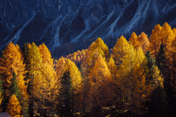 Wall Mural - Magical yellow larches glowing in the sunlight. Location place Dolomite Alps, Cortina d'Ampezzo, Italy, Europe.