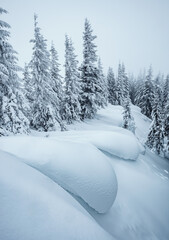 Wall Mural - Frozen white spruces on a frosty day. Location Carpathian mountain, Ukraine.