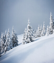 Wall Mural - Frozen white spruces on a gloomy day. Location Carpathian mountain, Ukraine.