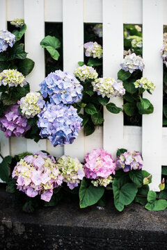 hydrangeas and white picket fence