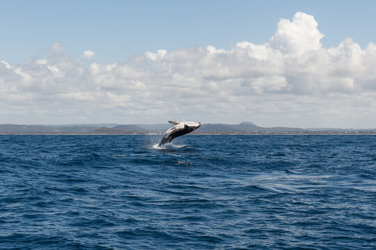 humpback whale breaching out of the water,Noosa,Queensland