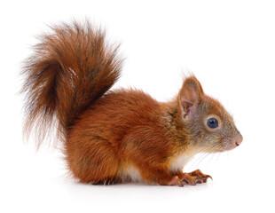Printed kitchen splashbacks London Eurasian red squirrel.