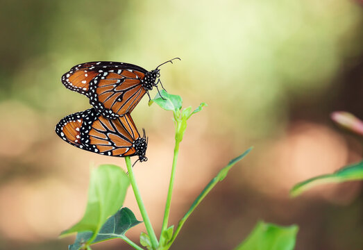 Pair of Queen butterflies (Danaus gilippus) mating and hanging on a leaf in the fall