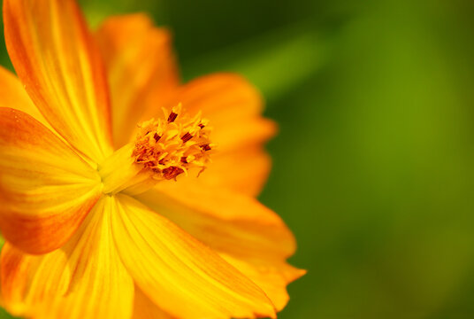 Closeup of a beautiful Yellow Cosmos (Cosmos sulphureus) flower blossom in the autumn garden. Natural green background with copy space.