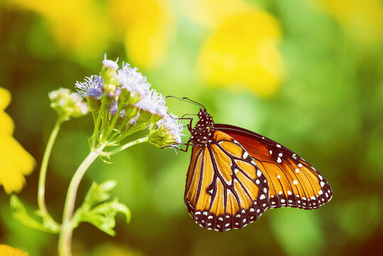 Queen butterfly (Danaus gilippus) feeding on Greggs Mistflowers (Conoclinium greggii) in the fall. Yellow flowers in the  background with copy space.