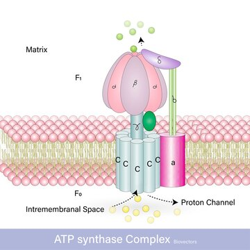 ATP synthase which is involved in the making of ATP this complex is also known as F0F1 complex found in the inner membrane of mitochondria and involved in electron transport chain vector illustration