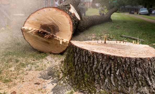 Felled Tree Trunk and Large Stump - Tree Removal Suburban