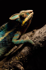 colorful chameleon on a branch in the dark at night