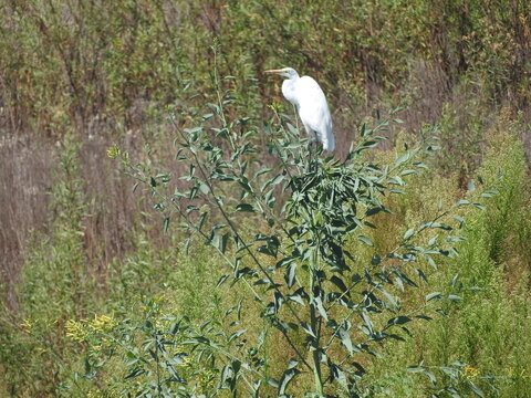 Great white egret along the shores of Lake Casitas in Ventura County, California.