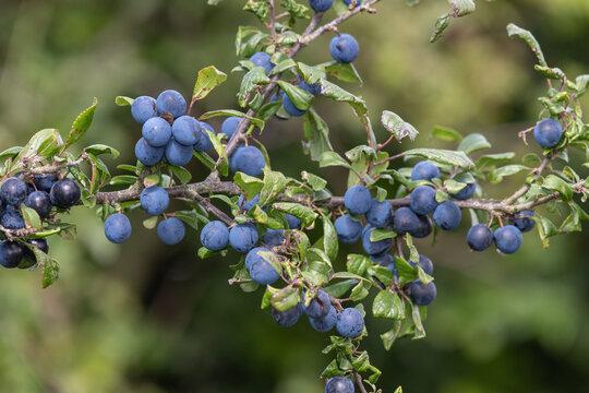Close up of sloe berries on a blackthorn (prunus spinosa) tree