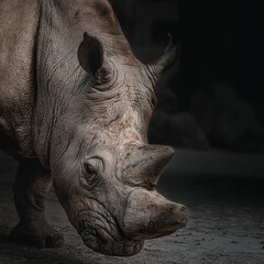 White rhino head closeup on dark background