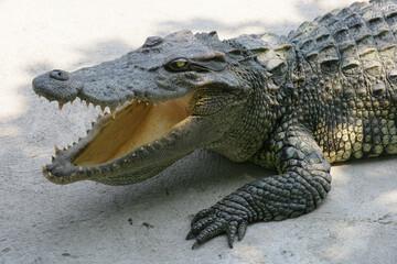 Thailand crocodile