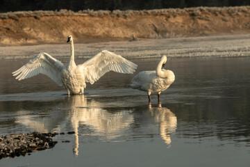 Trumpeter swans (Cygnus buccinator) preening; Yellowstone NP; Wyoming