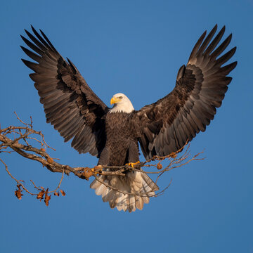 American Bald Eagle with outstretched wings in Maryland.