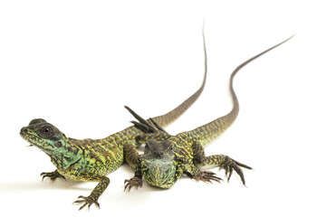 Juvenile Sailfin Dragon Lizard (Hydrosaurus weberi) isolated on white background Wall mural