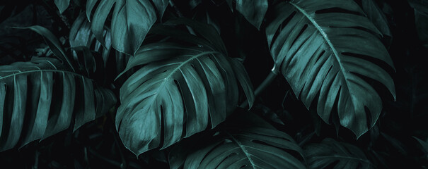 Wall Mural - closeup nature view of monstera leaf and palms background. Flat lay, dark nature concept, tropical leaf
