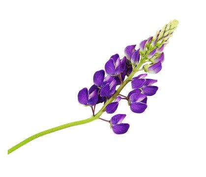 Purple flowers of Lupinus polyphyllus