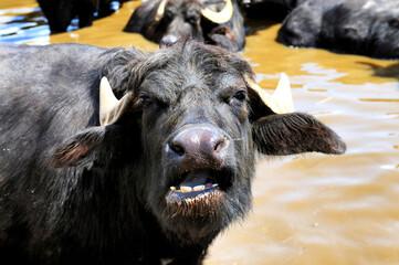 buffalos at a farm in Italy