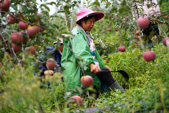 Workers cut grass at an apple plantation of Darui Apple Industry Park in Yuexi county, during a government-organised media tour in Liangshan