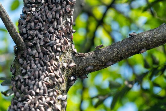 Spotted Lantern Flies on Trees