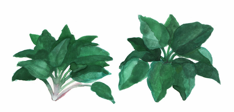 crayon and watercolor illustration of a spinach