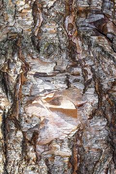 Bark of Heritage River Birch (Betula nigra 'Cully')