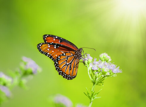 Queen butterfly (Danaus gilippus) feeding on Blue Mistflowers (Conoclinium greggii) on a sunny day. Natural green background with copy space.