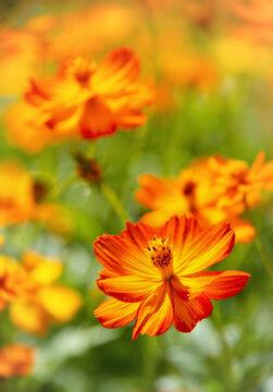Beautiful Yellow Cosmos (Cosmos sulphureus) flowers blooming in the garden.