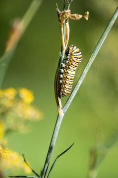 Black Swallowtail butterfly (Papilio polyxenes) caterpillar feeding on dill plant.