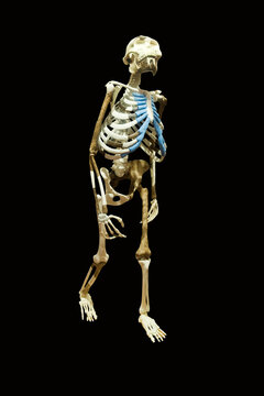Replica of the skeleton of the Australopithecus afarensis Lucy also known as Dinknesh (Wonderful)