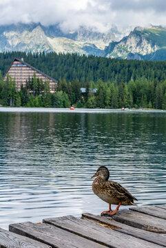 A female mallard duck (Anas platyrhynchos) on a wooden pier over Lake Strbske pleso.