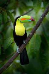 Wall Mural - Tropic bird Keel-billed Toucan, Ramphastos sulfuratus, bird with big bill sitting on branch in the forest, Costa Rica. Nature travel in central America. Beautiful bird in nature habitat.
