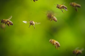 flock of bees flying near the beehive, honey bee working ,bee in flight