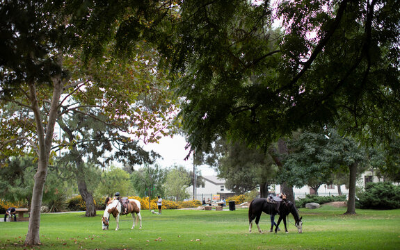 Horses eat grass at Victory Park in Pasadena