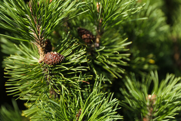 spruce branch with cones close up