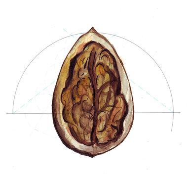Ovoide eje mayor - nuez - acuarela